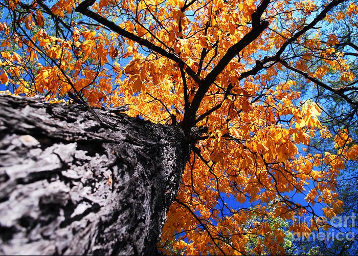Tree Greeting Card featuring the photograph Old Elm Tree In The Fall by Elena Elisseeva
