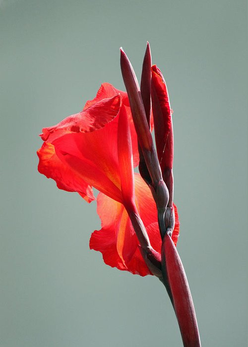Lily Greeting Card featuring the photograph On Fire by Suzanne Gaff