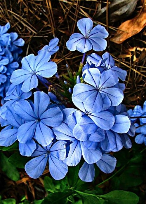 Blue Flowers Greeting Card featuring the photograph On The Forest Floor by Julie Dant