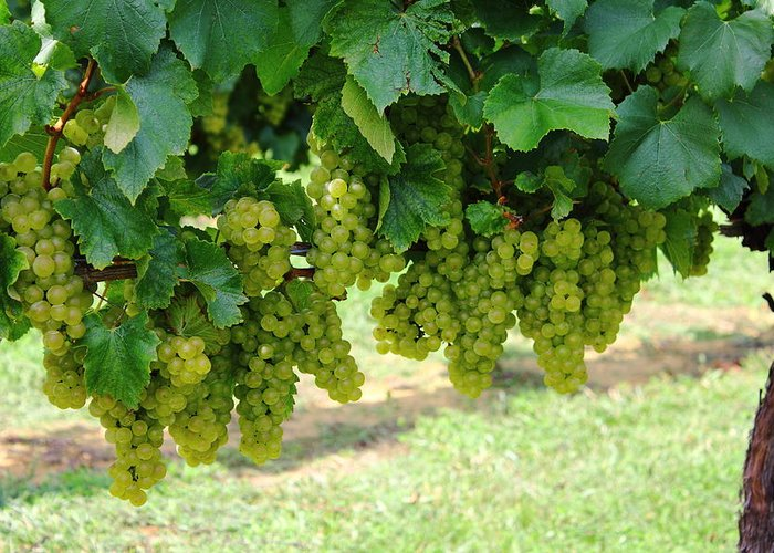 Grapes Greeting Card featuring the photograph On The Vine - Before The Wine by Andrew Montgomery