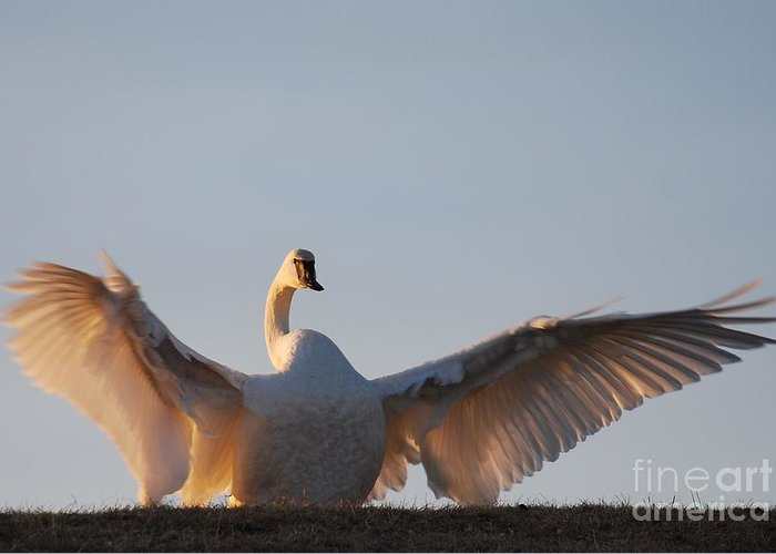 Trumpeter Swan Greeting Card featuring the photograph On Top Of The World by Joy Bradley