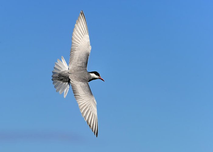 Whiskered Tern Greeting Card featuring the photograph One Good Tern Deserves Another by Tony Beck