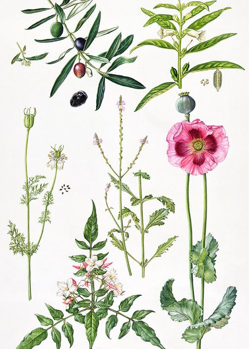 Sesame; Black; Cumin; Olive; Vervain; White; Jasmine; Herb; Botanical; Herbs; Opium Poppy; Olives; Leaf; Leafs; Flower; Flowering Greeting Card featuring the painting Opium Poppy And Other Plants by Elizabeth Rice