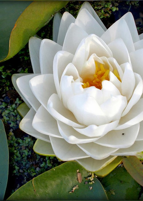 Photography Greeting Card featuring the photograph Optical Illusion In A Waterlily by Kaye Menner
