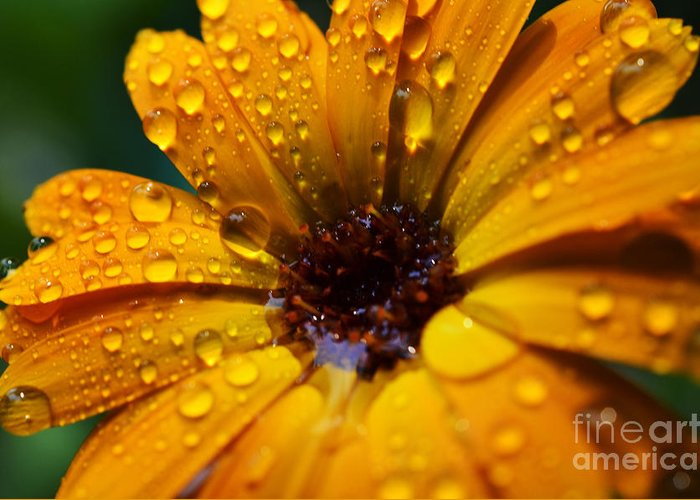 Orange Greeting Card featuring the photograph Orange Daisy In The Rain by Thomas R Fletcher