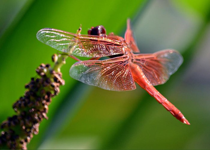 Flame Skimmer Dragonfly Greeting Card featuring the photograph Orange Flame by Fraida Gutovich