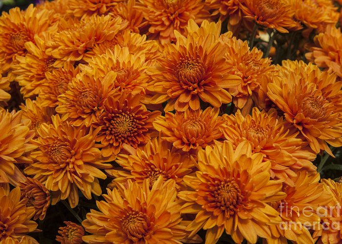 Mums Mum Greeting Card featuring the photograph Orange Mums by Darleen Stry