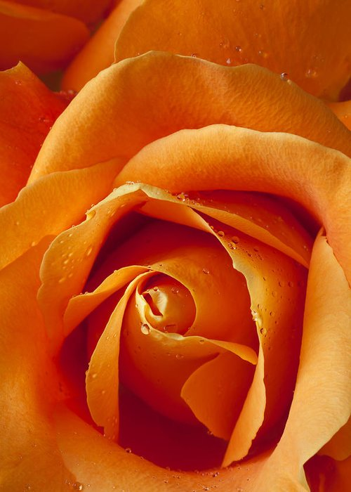 Orange Greeting Card featuring the photograph Orange Rose Close Up by Garry Gay