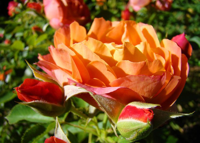 Rose Greeting Card featuring the photograph Orange Rose Flower Garden art prints Floral by Patti Baslee