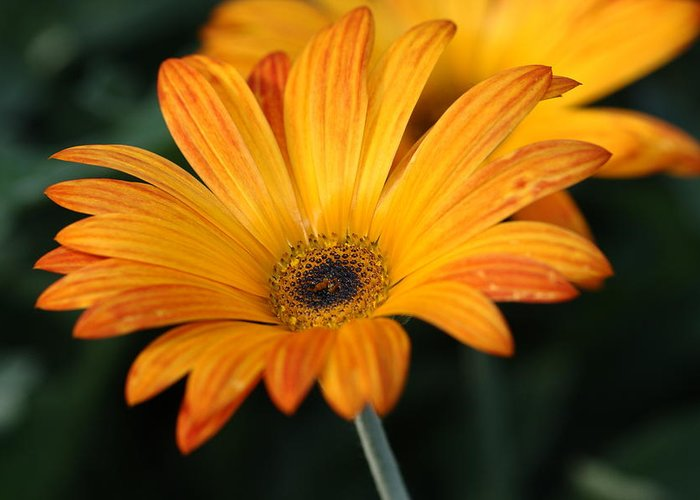 Flower Greeting Card featuring the photograph Orange Splash by Paul Slebodnick