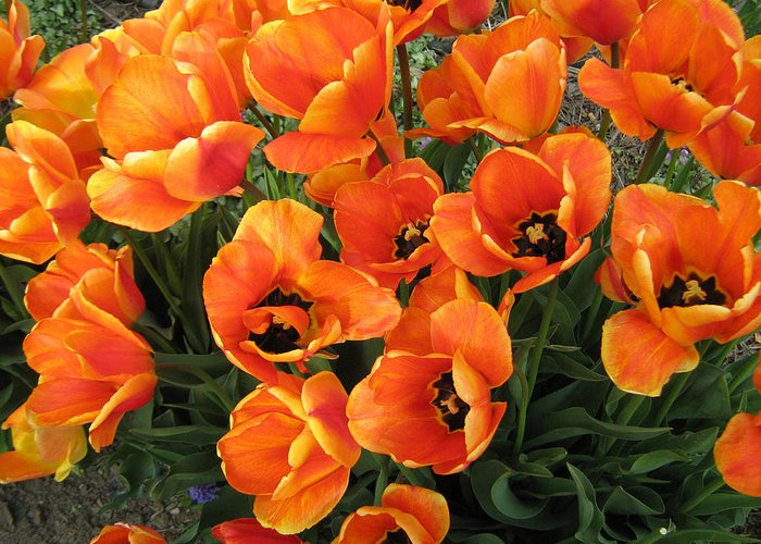 Tulips Greeting Card featuring the photograph Orange Tulips by Neena Plant