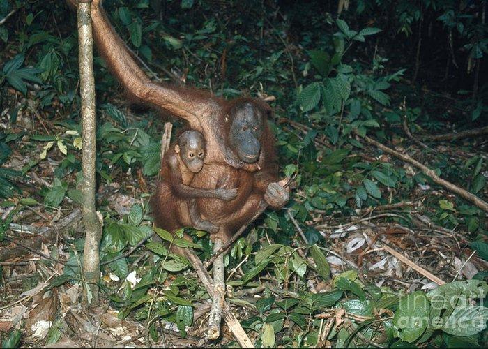 Designs Similar to Orangutan With Baby