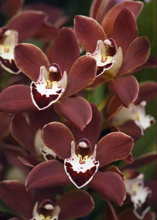 Orchid Greeting Card featuring the photograph Orchid (cymbidium Sp.) by Maria Mosolova