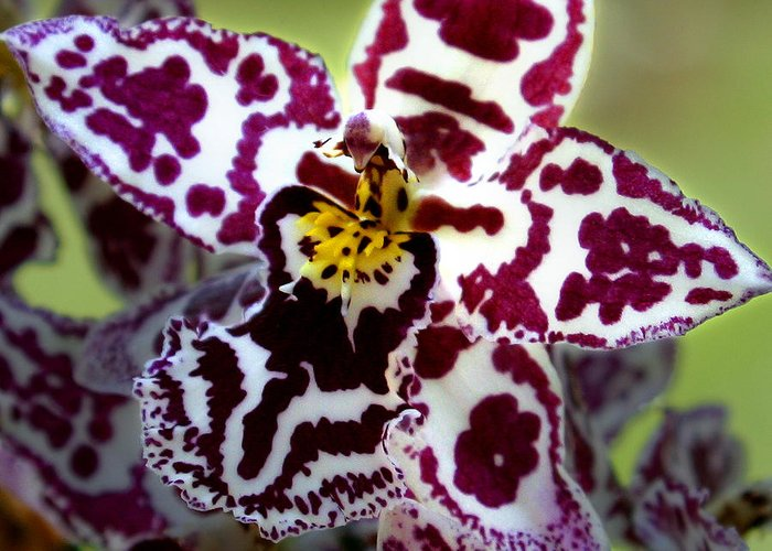 Ribet Greeting Card featuring the photograph Orchid Flower by C Ribet