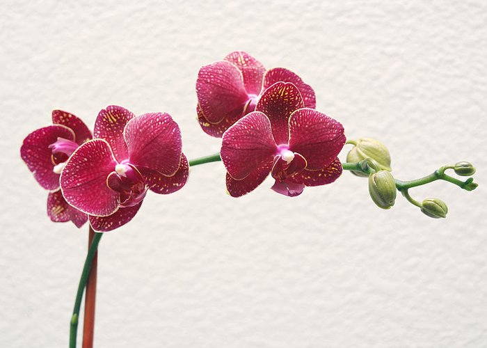 Flower Greeting Card featuring the photograph Orchid by Masha Batkova