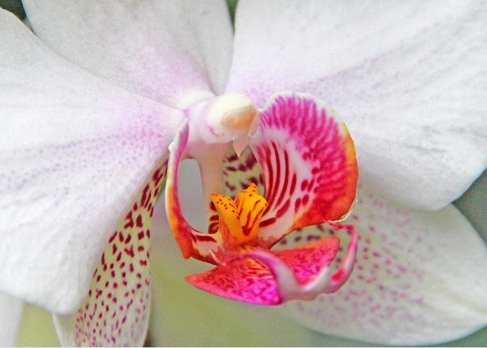 Becky Greeting Card featuring the photograph Orchids 10 by Becky Lodes