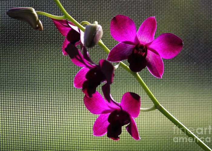 Purple Orchids Greeting Card featuring the photograph Orchids In The Sunlight by Theresa Willingham