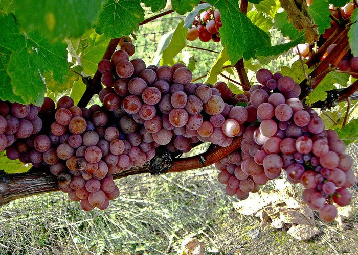 Purple Grapes Greeting Card featuring the photograph Oregon Burgundy by Cheryl Colaw