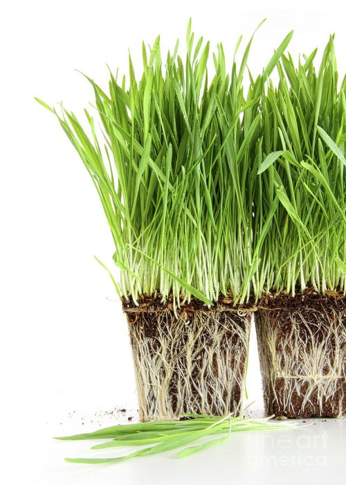 Agriculture Greeting Card featuring the photograph Organic Wheat Grass On White by Sandra Cunningham