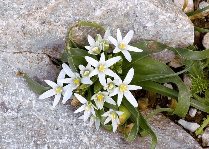Star Of Bethlehem Greeting Card featuring the photograph Ornithogalum Montanum by Bob Gibbons