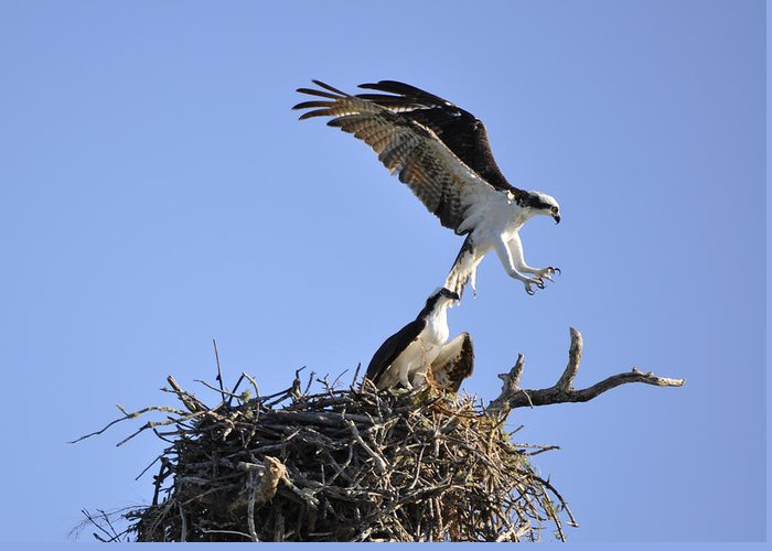 Osprey Greeting Card featuring the photograph Osprey Coming in for a Landing by Christine Stonebridge