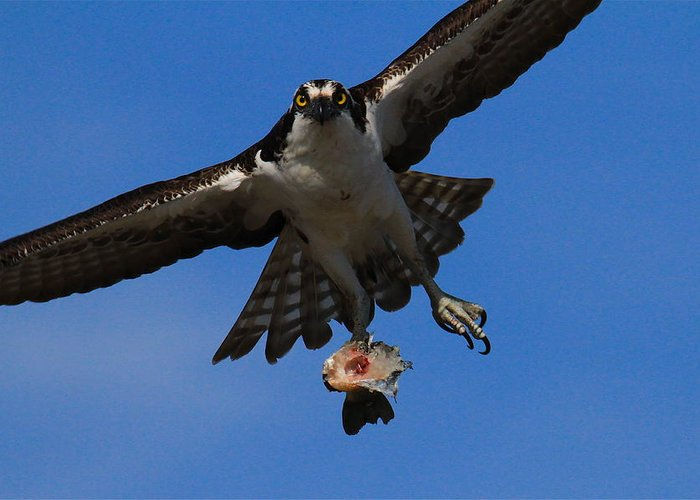Osprey Prints Greeting Card featuring the photograph Osprey In Flight by Paul Marto