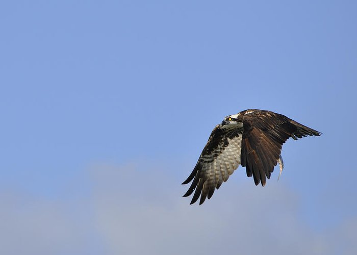 Osprey Greeting Card featuring the photograph Osprey On The Move by Christine Stonebridge