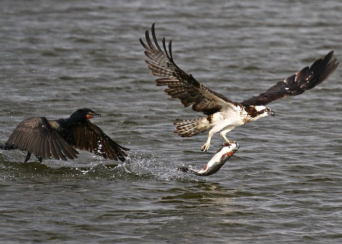 Osprey Prints Greeting Card featuring the photograph Osprey On The Run by Paul Marto