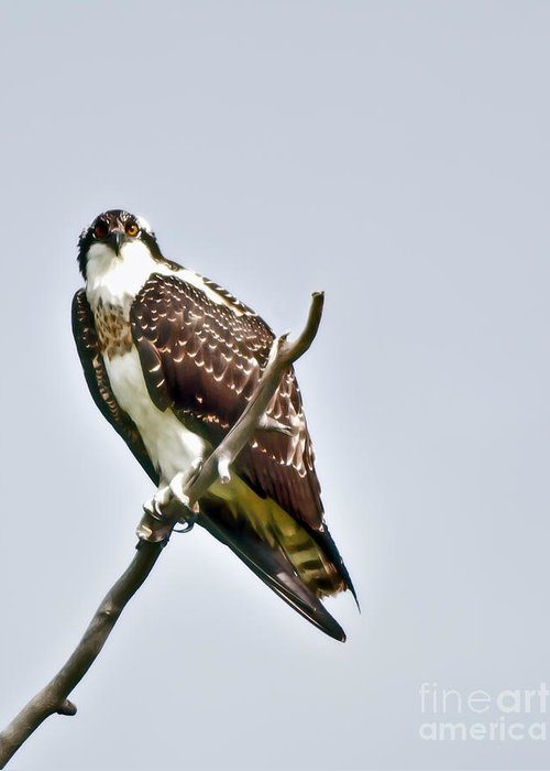Osprey Greeting Card featuring the photograph Osprey by Robert Bales