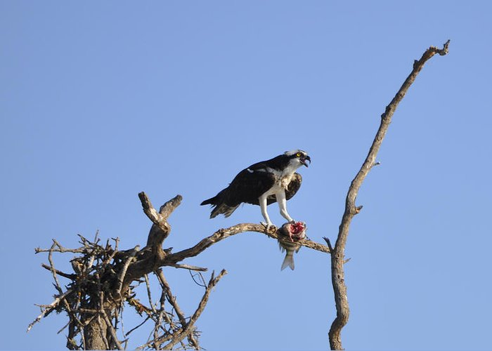 Osprey Greeting Card featuring the photograph Osprey with Catch I by Christine Stonebridge