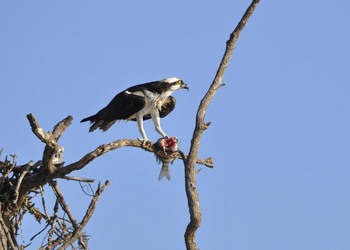 Osprey Greeting Card featuring the photograph Osprey with Catch II by Christine Stonebridge