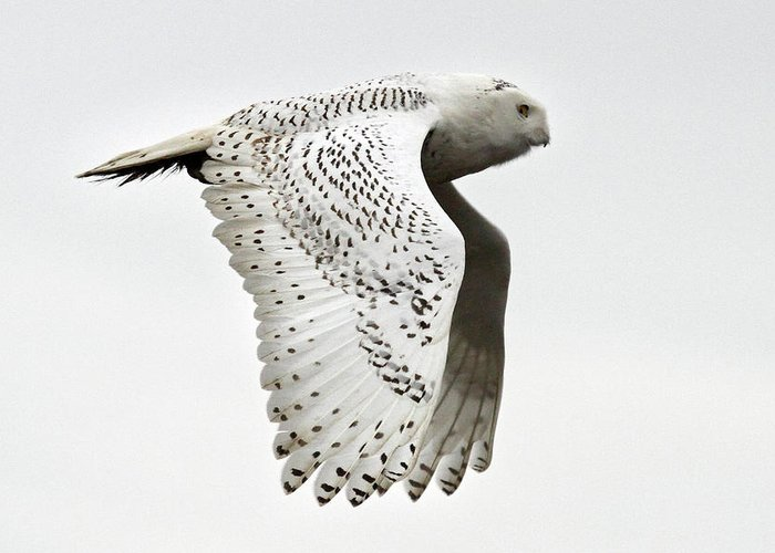 Snowy Owls Greeting Card featuring the photograph Owl In Flight by Pierre Leclerc Photography
