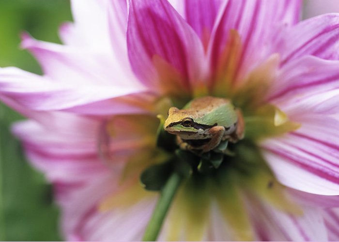 Pacific Treefrog Greeting Card featuring the photograph Pacific Treefrog On A Dahlia Flower by David Nunuk