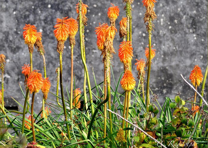 Orange Flowers Greeting Card featuring the photograph Paintbrushes by Cheri Randolph