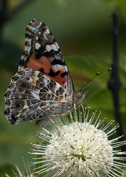 Study Greeting Card featuring the photograph Painted Lady Butterfly Din049 by Gerry Gantt