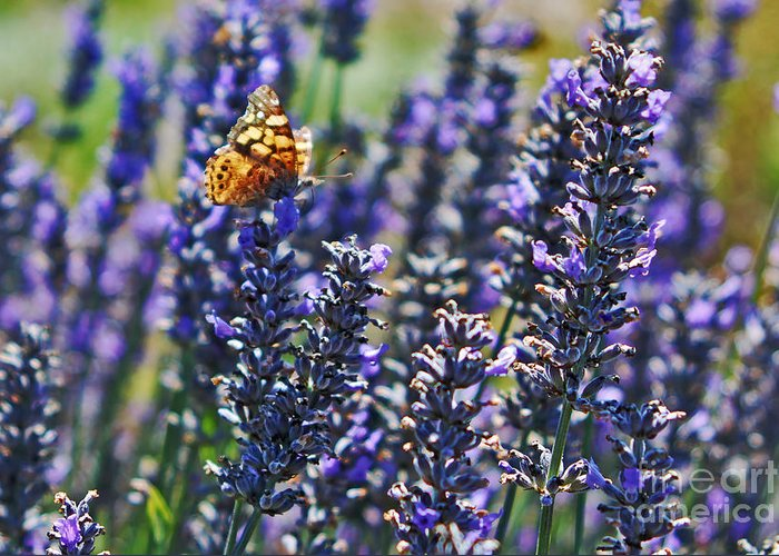Painted Lady Butterfly Greeting Card featuring the photograph Painted Lady Butterfly On Lavender Flowers by Paul Topp