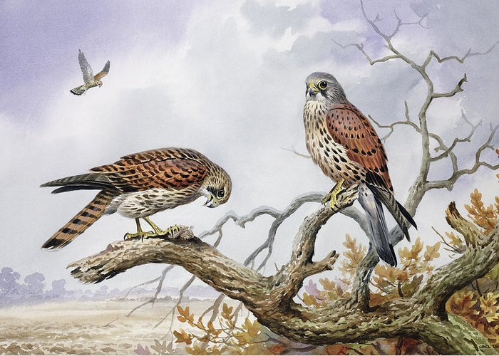 Hovering; Perched; Bird Eating; Tree Tops; Birds; Bird Of Prey; Faucon Crecerelle; Falco Tinnunculus; Landscape Greeting Card featuring the painting Pair Of Kestrels by Carl Donner