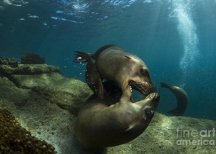 California Sea Lion Greeting Card featuring the photograph Pair Of Playful Sea Lions, La Paz by Todd Winner