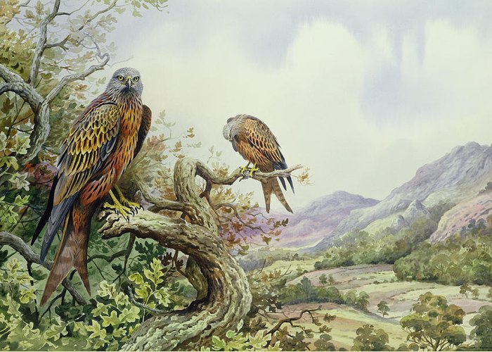 Bird Of Prey; Tree Top; Valley; Mountains; Milan Royal; Milvus Milvus; Kite; Kites; Landscape; Oak Tree Greeting Card featuring the painting Pair Of Red Kites In An Oak Tree by Carl Donner