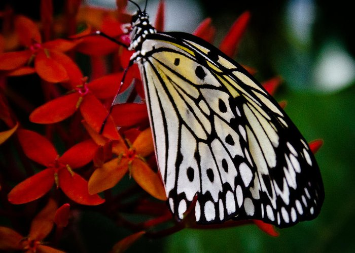 Butterfly Greeting Card featuring the photograph Paper Kite Butterfly by David Patterson