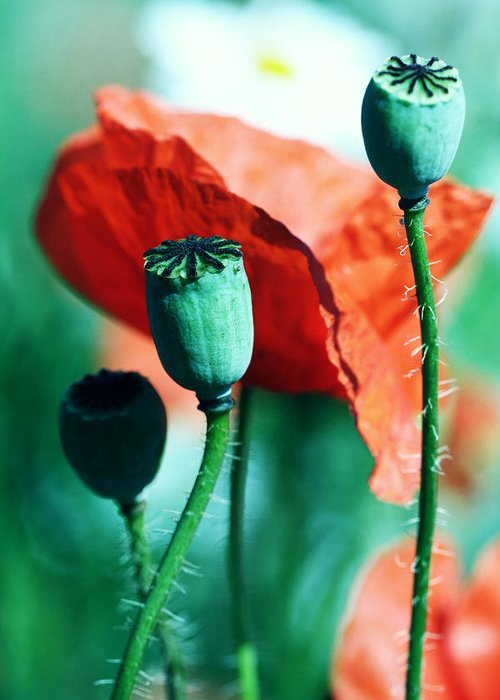 Poppy Greeting Card featuring the photograph Papoula by Falko Follert