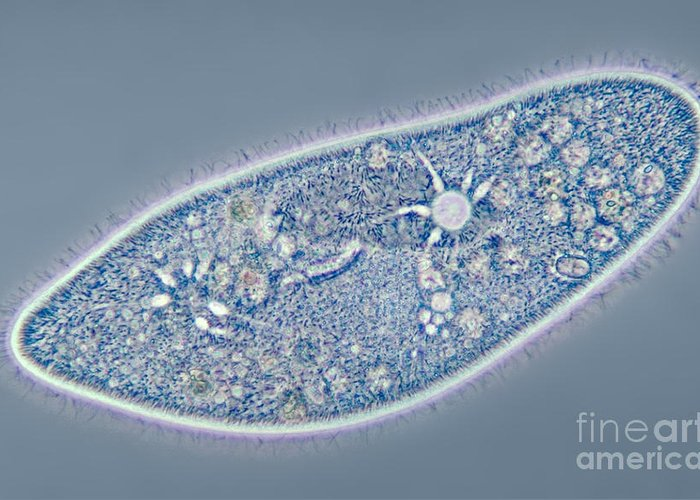 Contractile Vacuole Greeting Card featuring the photograph Paramecium Caudatum, Contractile by M. I. Walker