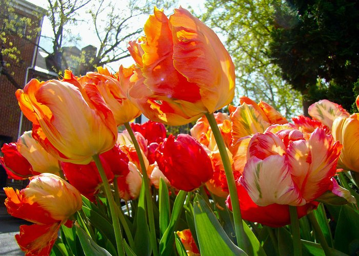 Tulips Greeting Card featuring the photograph Parrot Tulips In Philadelphia by Mother Nature