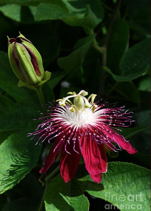 Nature Greeting Card featuring the digital art Passion Flower by Eva Kaufman