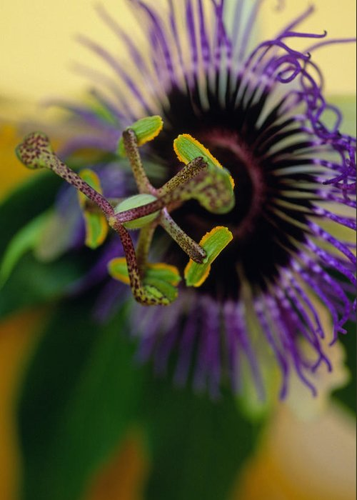 Floral Greeting Card featuring the photograph Passionate Flower by Kathy Yates