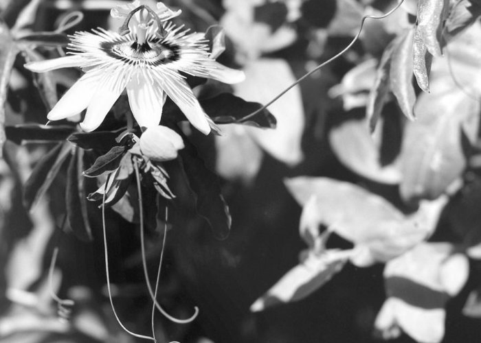 Passionflower Greeting Card featuring the photograph Passionflower And Tendrils by Paul Cowan