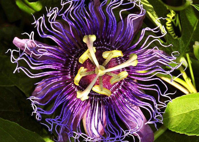 Passionflower Greeting Card featuring the photograph Passionflower by David Lee Thompson