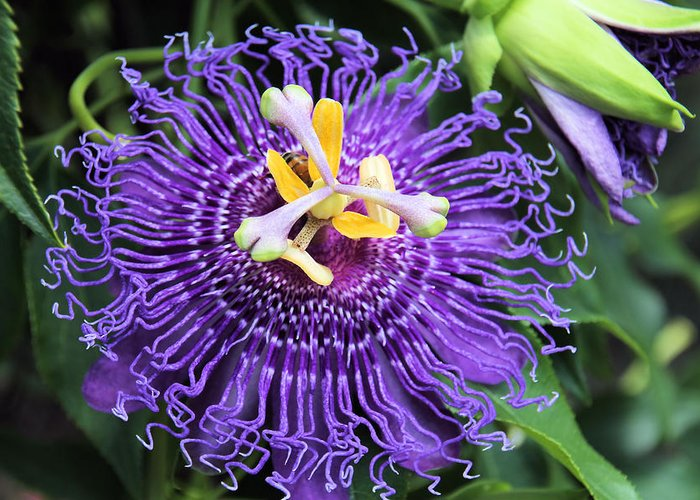 Passionflower Greeting Card featuring the photograph Passionflower Purple by Rosalie Scanlon