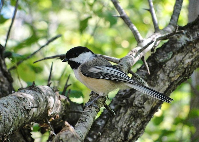 Chickadee Bird Birds Maine Tree Greeting Card featuring the photograph Patience On Tuesday by Katie Bauer