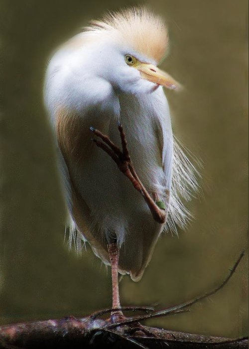 Egret Greeting Card featuring the photograph Peace Baby by Paulette Thomas